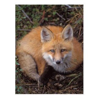 zorro rojo, vulpes del Vulpes, en colores de la Postales