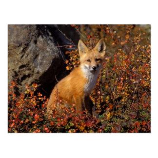 zorro rojo, vulpes del Vulpes, en colores de la Tarjetas Postales