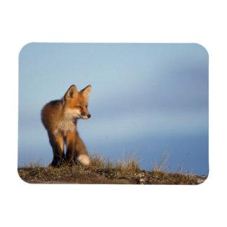 zorro rojo, vulpes del Vulpes, en las 1002 áreas d Iman