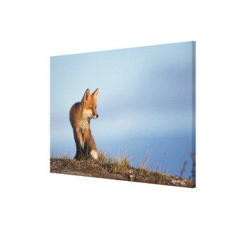 zorro rojo, vulpes del Vulpes, en las 1002 áreas d Lienzo Envuelto Para Galerias