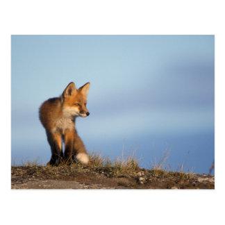 zorro rojo, vulpes del Vulpes, en las 1002 áreas d Postales