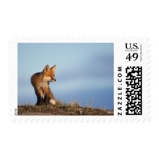 zorro rojo, vulpes del Vulpes, en las 1002 áreas Estampillas