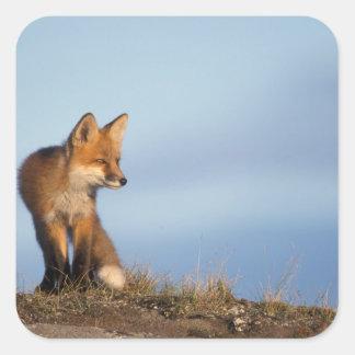 zorro rojo, vulpes del Vulpes, en las 1002 áreas Pegatina Cuadrada