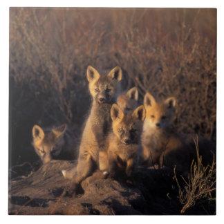 zorro rojo, vulpes del Vulpes, equipos en su guari Azulejo Cuadrado Grande