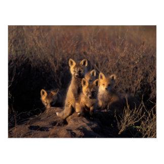zorro rojo, vulpes del Vulpes, equipos en su Tarjetas Postales