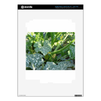 Zucchini plant in blossom in the garden in Tuscany Decal For iPad 3