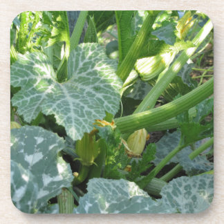 Zucchini plant in blossom in the garden in Tuscany Drink Coaster