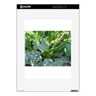 Zucchini plant in blossom in the garden in Tuscany Skin For iPad