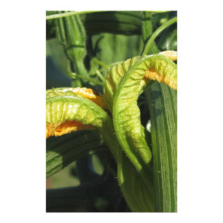 Zucchini plant in blossom in the vegetable garden stationery
