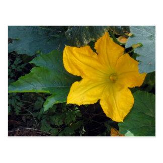 Zucchini Squash Blossom - photograph Post Card