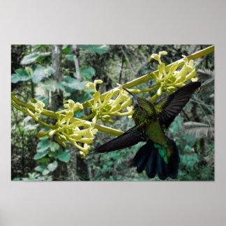 Zumbador Verde de Puerto Rico y Flor de Papaya Can Póster