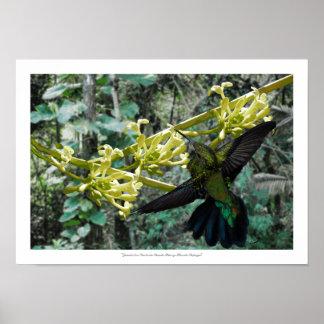 Zumbador Verde de Puerto Rico y Flor de Papaya Póster