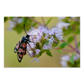 Zygaena butterfly on flower poster