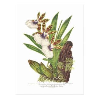 Zygopetalum gautieri postcard